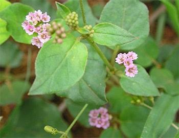 punarnava plant Image (Boerhavia Diffusa)