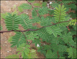 Khadira (Acacia catechu)
