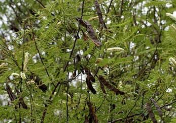 Acacia Catechu, Black Catechu, Khadira