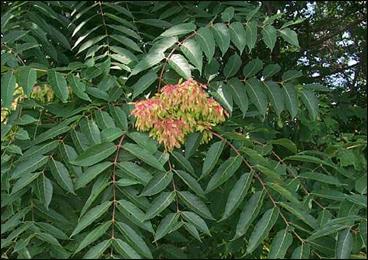 Aralu, Ailanthus Excelsa