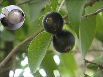 Ankol, Alangium  Salvifolium
