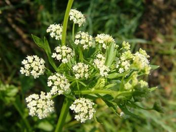 Ajamoda seeds, Celery, Apium graveolens