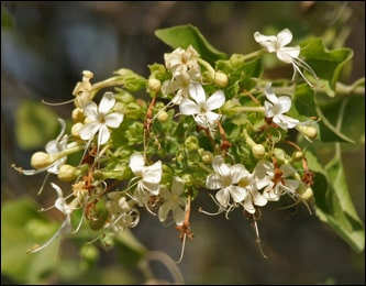 Arni, Clerodendrum multiflorum