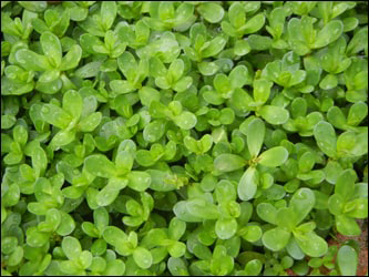 Introduction of Brahmi Herb in Macedonian Language