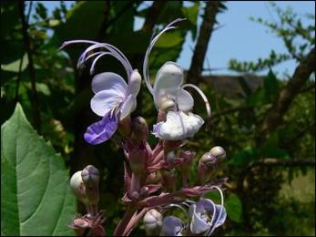 Bharangi, Clerodendrum serratum