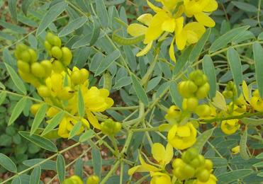 Swarna Patri, Cassia angustifolia