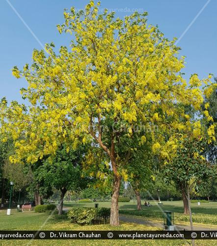Amaltas tree images, Cassia fistula tree images