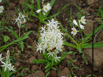 Chlorphytum borivillianum, Safed Musli, Herbal Viagra