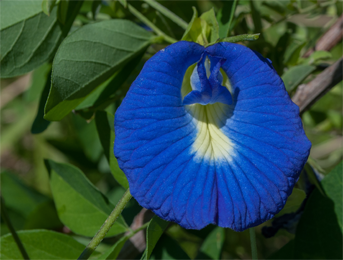Aparajita flower or shankupushpam