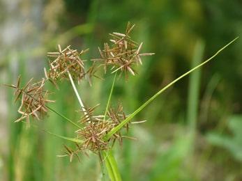 Mustaka, Nut Grass, Cyperus rotundus