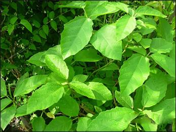 Danti, Baliospermum montanum