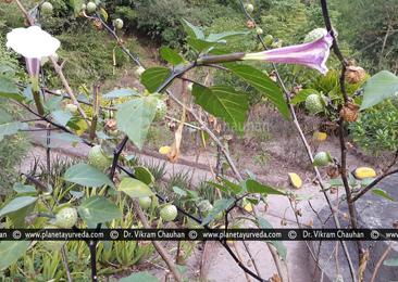 Dhattura, Datura metel