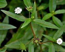 Bhringraj Eclipta Alba Properties Benefits Uses Dosage