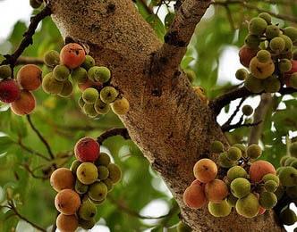 Udumbara, Cluster Fig, Ficus Glomerata