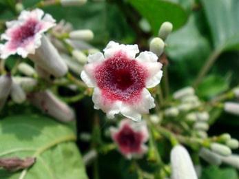 Gandha Prasarini plant Images, Paederia foetida