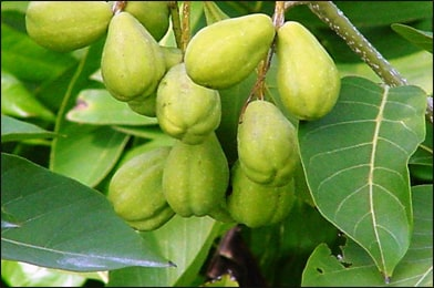 Haritaki Harad Terminalia Chebula Uses Benefits Dosage