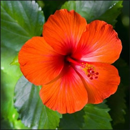 Rosemallows, Hibiscus
