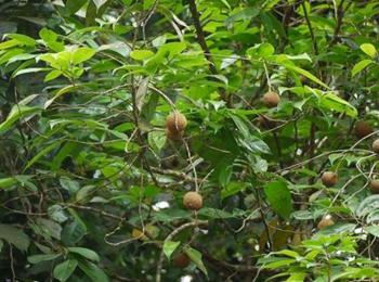 Tuvaraka, Hydnocarpus laurifolia