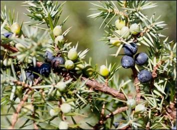 Hauber, Juniperus Communis