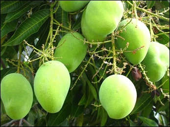 Mango, Mangifera indica