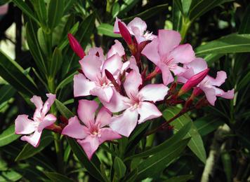 Karavira, Nerium indicum