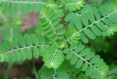 Bhumi Amla - Phyllanthus niruri
