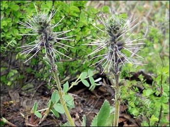 Kutki, Picrorhiza kurroa