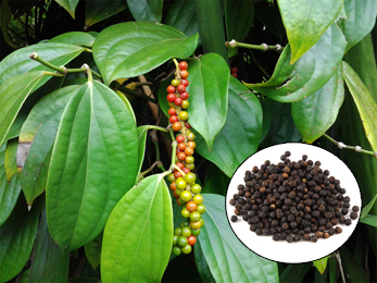 Maricha, Black Pepper, Piper nigrum