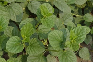 Bakuchi, Psoralea corylifolia