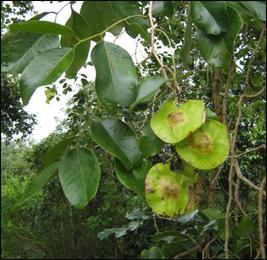 Vijaysar, Pterocarpus marsupium