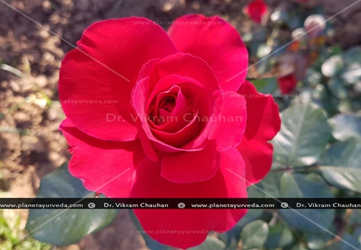 Rose, Rosa centifolia, Indian Cabbage Rose