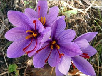 Saffron, Crocus sativus