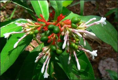 Sarpagandha, Rauwolfia serpentina
