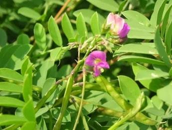 Sharpunkha Plant, Tephrosia purpurea
