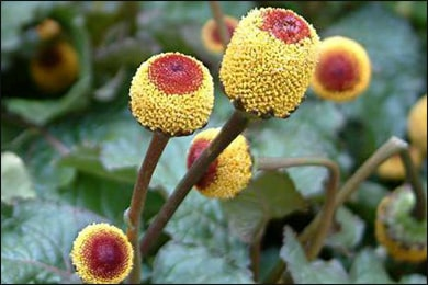 Spilanthes Seed, Spilanthes acmella