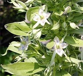 Kiratatikta, Swertia chirata