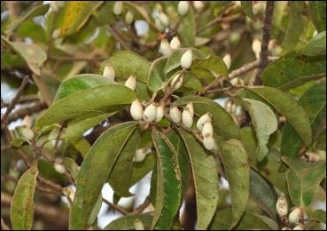 Symplocos Racemosa, Lodhra