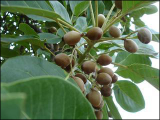 Bibhitaki, Bahera, Terminalia bellerica