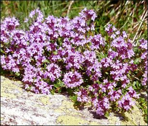 Breckland thyme, Thymus Serpyllum