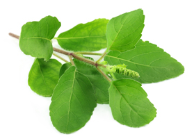 Tulsi plant - leaves images