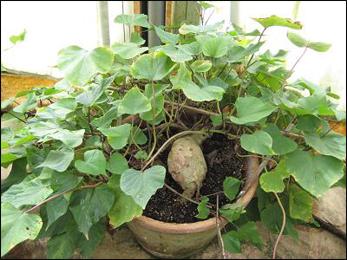Vidarikand powder, Pueraria tuberosa