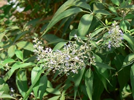 Vitex negundo (Nirgundi) - Usage, Dosage and Benefits