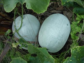 Kushmanda, Winter Melon, Benincasa Hispida