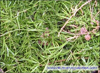 Shatavari, Asparagus racemosus