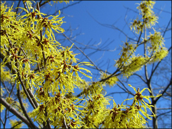 Witch-hazel, Hamamelis Virginiana