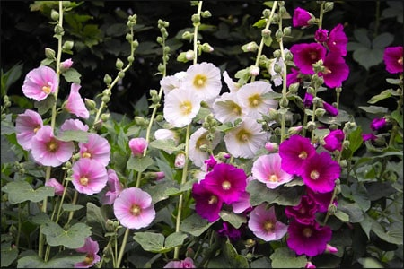 Health Benefits of Hollyhock