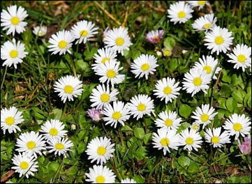 Health Benefits of Common Daisy