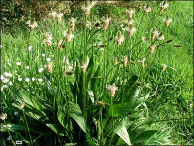 Ribwort Plantain, Plantago lanceolata