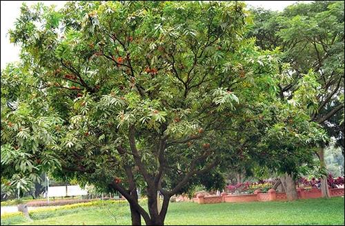 Ashoka, saraca asoca, ashoka tree